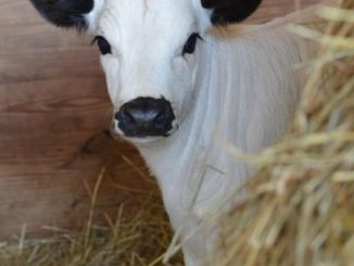 White Fulani Yearling Cow