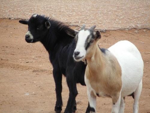 West african dwarf goat